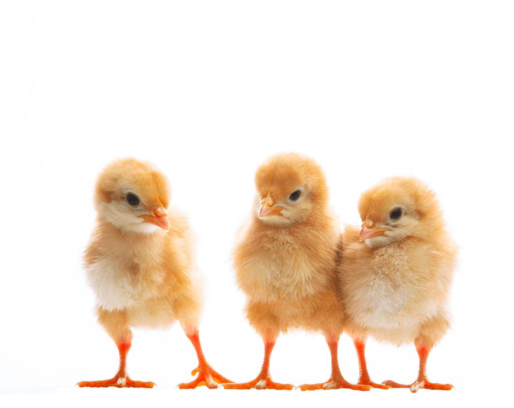 禽流感雞肉