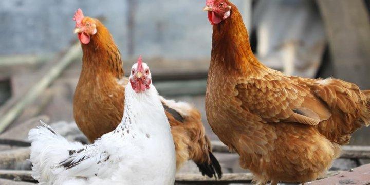 禽流感檢驗